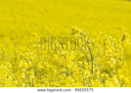 Rapeseed field, Cornwall, UK