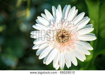 Single White Dahlia Flower