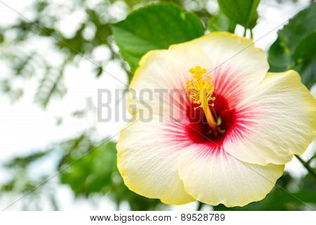 Blooming Of Yellow Hibiscus Flower