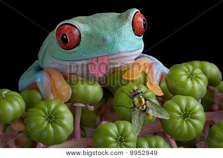 Tree Frog Eyeing Fly