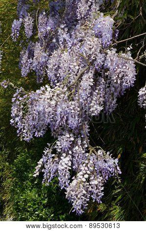 Wisteria On An Arbor In A Sunny Garden