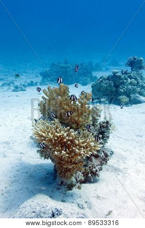 coral reef with hard coral and exotic fishes white-tailed damselfish