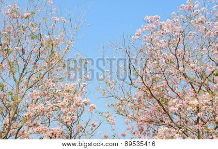 Pink Flower Of Tabebuia Tree