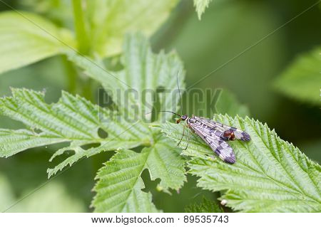 Scorpion Fly (panorpa Communis)