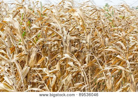 Dried Corn In Field