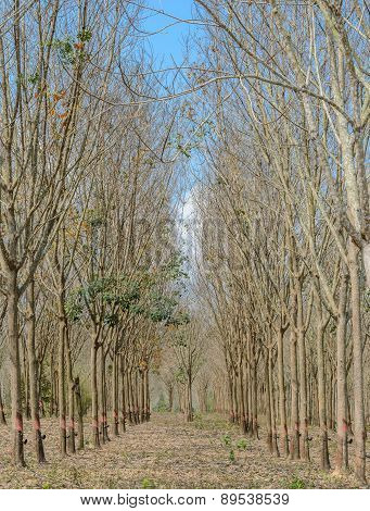 Rubber Plantation In Autumn