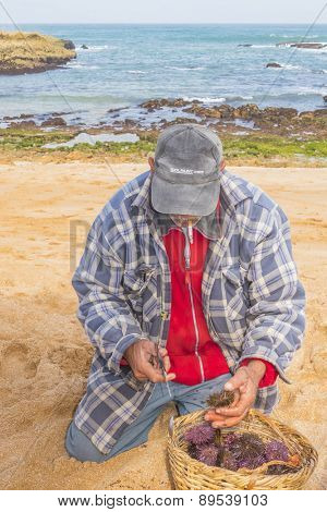 OUALIDIA, MOROCCO, APRIL 6, 2015: Local fisherman open raw sea urchins for tourists