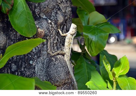 Lizard In Nature Climbs On The Old Tree