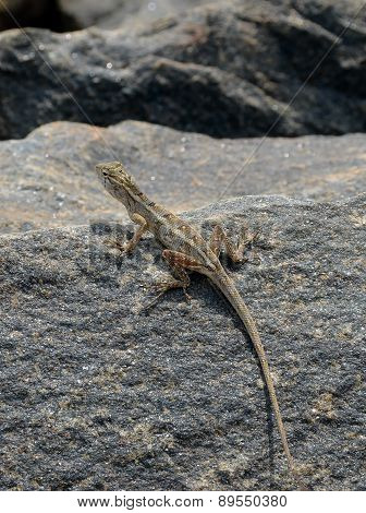 Little Lizard On The Rock In Nature Detail Vertical Photo