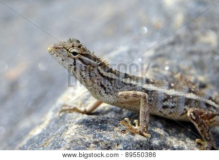Little Lizard On The Rock In Nature Detail Macro Photo