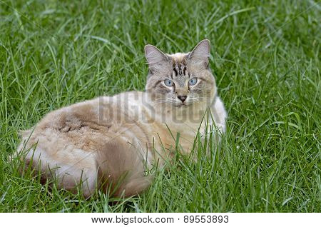 Blue Eyed Cat Lying In Grass