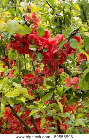 flowering bush Japanese quince