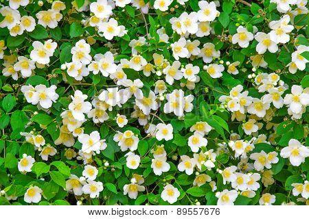 Flower Jasmine Background