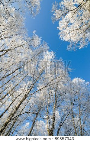 Tops Of Trees Covered With Hoarfrost Against Sky