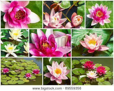 Beautiful Fresh Water Lily, Set