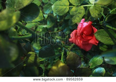 Solitary Rose