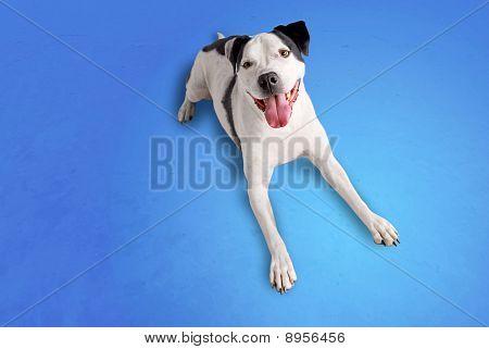 Smiling Pitbull