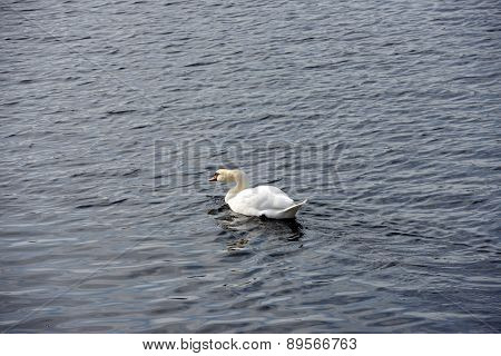 White Swan Is On Background Of Rippling River Water.