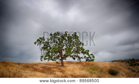 Oak On Grassy Ridge
