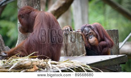 Adult Orangutan Sitting With Sad And Thoughtful Face