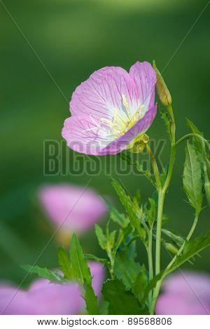 Pink Evening Primrose (oenothera Speciosa)