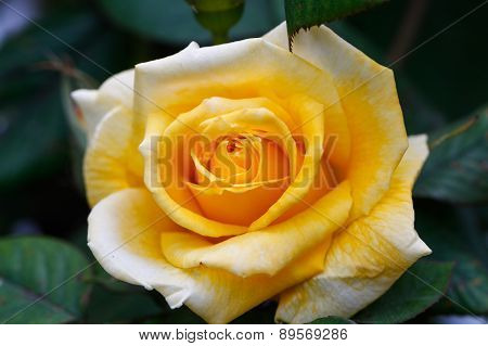 Yellow rose with green background.