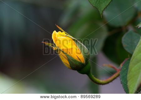 Yellow rose bud with green background.