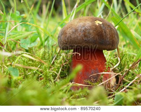 dotted stem boletus (Boletus erythropus, B. luridiformis)