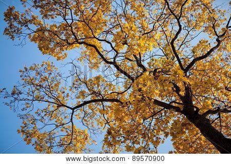 Maple Tree In The Autumn