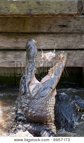An Alligator Jumps for Food
