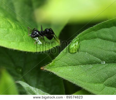 Ant Among Moist Green Garden Leaves