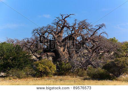 Big African Baobab Botswana