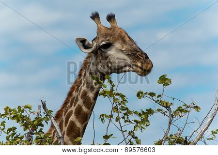 Giraffe Eating Leafs