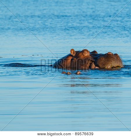 Hippo Sleeping And Eating In River