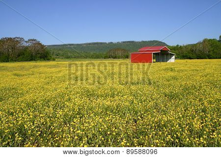 Pasture of Buttercups