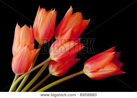 A Spray of Tulips