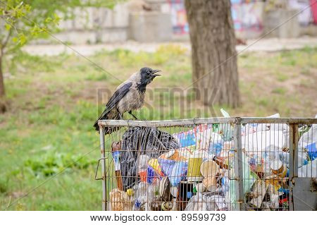 Hooded Crow With Garbage