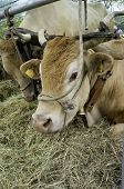 stock photo of exposition  - Cows exposition - JPG