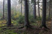 stock photo of coniferous forest  - Sunbeam entering rich coniferous forest misty morning with old spruce and pine trees - JPG