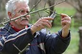 picture of prunes  - Senior man pruning tree in orchard active retirement selective focus on hands - JPG