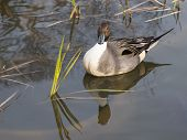 image of duck-hunting  - beautiful duck with intelligent eyes floating in a pond and is reflected in the water surface and green sedge grows - JPG