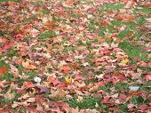 stock photo of crips  - colorful fall leaves that fall from the trees - JPG