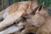 image of kangaroo  - A close shot of a Kangaroo laying down relaxing - JPG