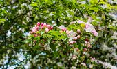 foto of bud  - Closeup of blossoms and buds of a crabapple tree in the early spring season - JPG