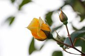 stock photo of yellow rose  - Yellow rose with sky background - JPG
