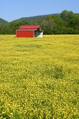 foto of red barn  - a red metal barn in a field of yellow buttercups - JPG
