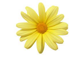 stock photo of single flower  - flowerhead yellow - JPG