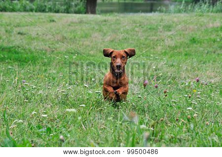 Dog breed standard smooth-haired dachshund. The dog is running.