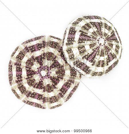 Dried Sea Urchins