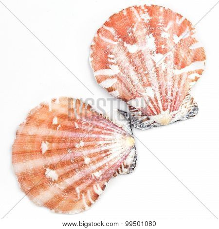 Atlantic Calico Scallop Shell (argopecten Gibbus)